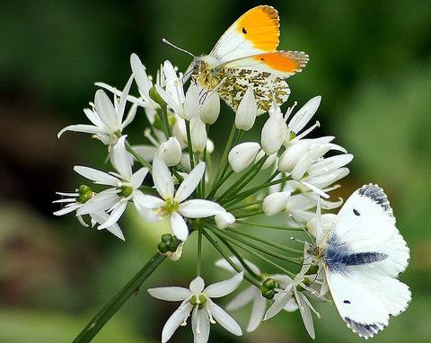 Orange Tip butterflies at Carr Mill Dam