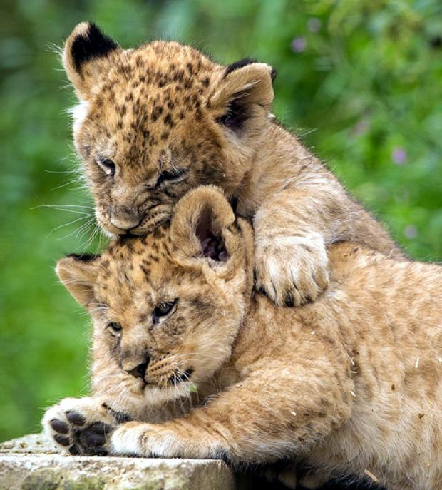 The cubs – named after gold medal winning heptathlete Jessica Ennis and cyclist Victoria Pendleton – are melting the hearts of keepers and visitors.