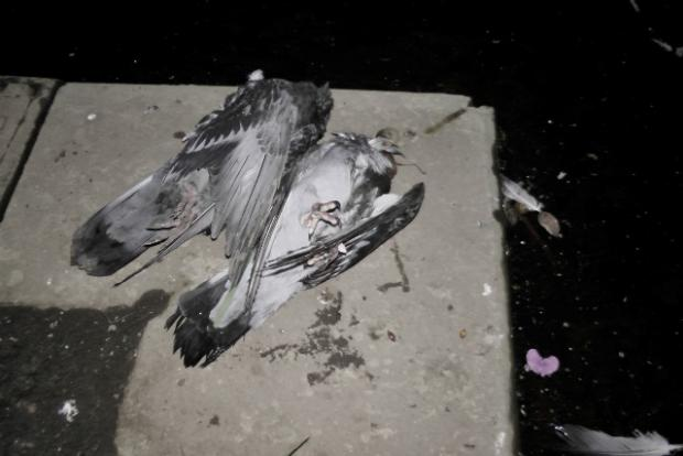 Horror of pigeons shot by youngsters