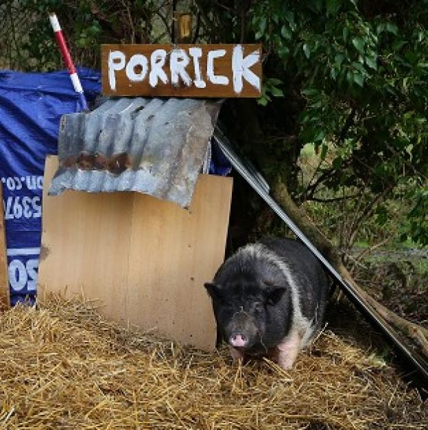 St Helens Star: Porrick the pig grazes on land in Folkestone, Kent, as local people continue to care for her