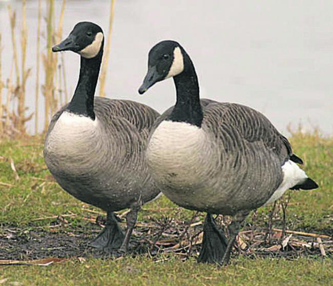 Around 60 geese have been killed at United Utilities