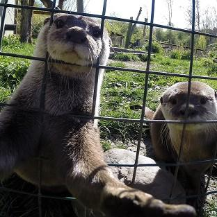 St Helens Star: Musa the otter gets in on the craze for selfies at the WWT Washington Wetland Centre in Tyne and Wear while his mate Mimi looks on