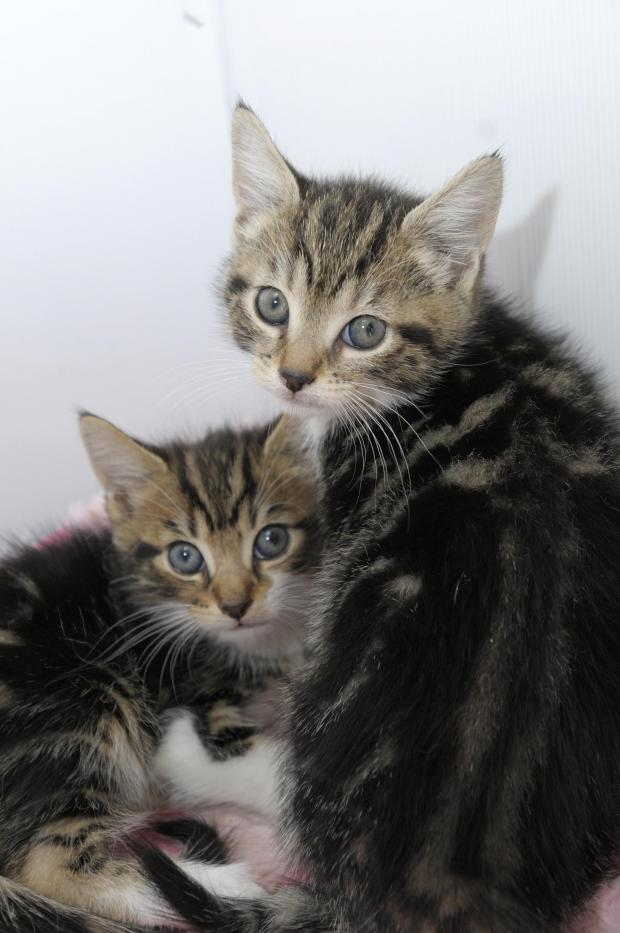 St Helens Star: The kittens are brother and sister