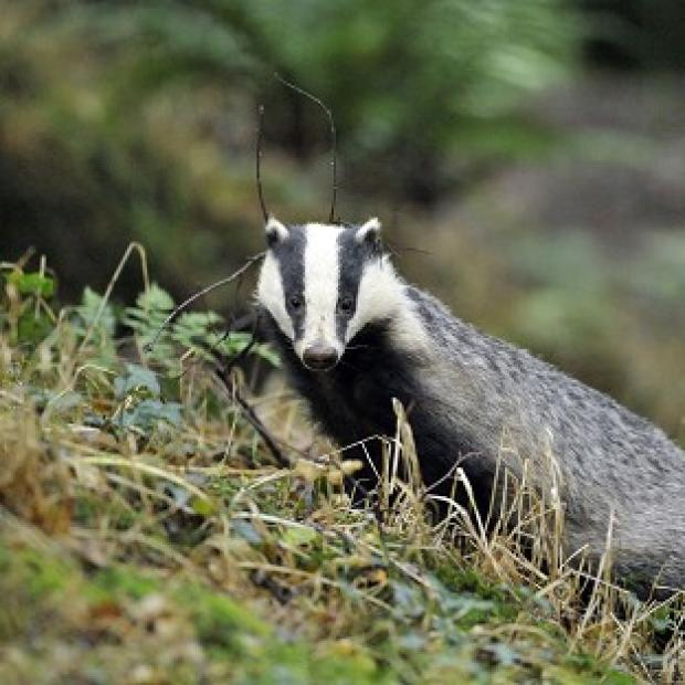 St Helens Star: Campaigners have renewed criticism of the badger cull following the release of new statistics.