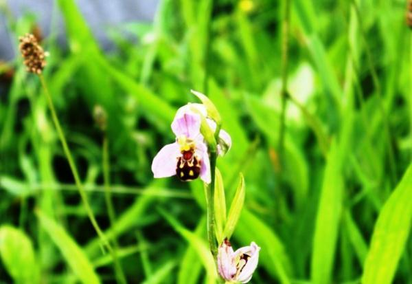 St Helens Star: The rare bee orchid