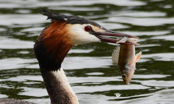 This greedy Grebe caught on camera