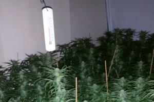 402 cannabis plants were discovered
